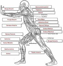 Related posts of muscles of the body diagram chest muscle diagram. Muscles Labeling Side Body