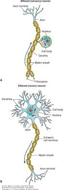 sensory neuron and a motor neuron graphic jump location image not available