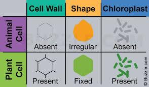Plant Cells Vs Animal Cells Venn Diagram Plant Vs Animal Cells Venn Diagram Yolarcinetonicco 1110516755251