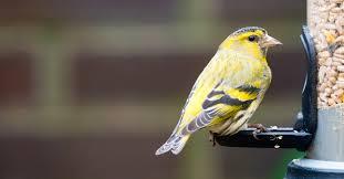 Why wild <b>birds love</b> sunflower hearts - Happy Beaks Blog