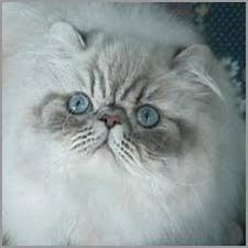Himalayan Cats Online Com Himalayan Colors Article