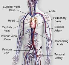 The largest veins are the superior and inferior vena cava, which return blood to the heart from the upper body and lower body respectively. How Many Veins Are In The Human Body Quora