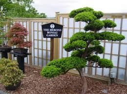 bonsai gardens. peter has donated a whole collection of specimins trees including dramatic 200 year old japanese yew and built garden purely as donation to bonsai gardens r