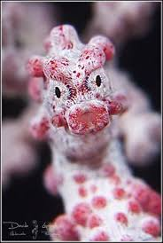 Image result for pygmy seahorse