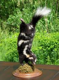 Small Picture Striped Skunk Drawingjpg 1515810 pixels Outdoors with Kids