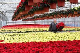 Weihnachtssterne Auf 6000 Quadratmetern Rhein Westerwald News
