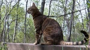 Alberta's '<b>Suki</b> the Adventure <b>Cat</b>' is latest Internet sensation   CTV ...