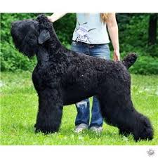 Resultado de imagen para imagenes de la raza de perro terrier negro ruso