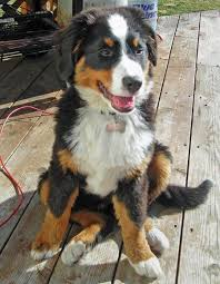 koda the bernese mountain dog pictures 295696
