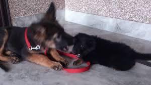 german shepherd tibetan mastiff mix.  Tibetan YouTube Premium On German Shepherd Tibetan Mastiff Mix
