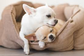 how long do chihuahuas live reader s