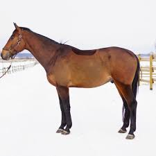 clipped bay horse stands in snow with fence in background