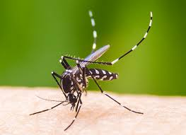Image result for picture of aedes mosquito