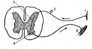 Контрольная работа по биологии класс Нервная система hello html 52af4a1b png