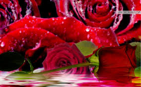 Roses Flowers Wallpapers Beautiful Rose Flowers Wallpapers Group With 70 Items