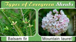 Common Types Of Evergreen Shrubs