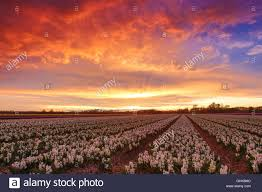 flower field sunset. Colorfull Sunset Over A Dutch Flower Field With White And Purple Hyacinths Near The Keukenhof In Lisse, Netherlands C