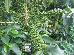 If you store your coffee beans in the freezer, you're a lunatic!… said basically every coffee pro ever. Fresh Ripe Coffee Seed Beans For Growing Coffee Plants 25 Healthy Hand Picked Seeds For Germination Planting Coffee Tree Amazon In Garden Outdoors