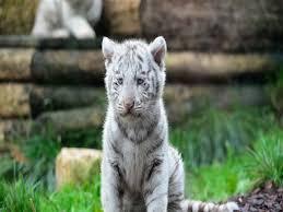baby white tigers wallpaper. Brilliant Wallpaper Baby White Tigers 2560 For Wallpaper L