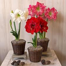 early blooming south african amaryllis