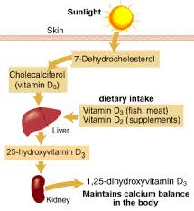 Vitamin D production