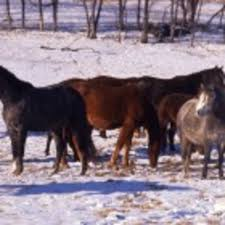 imbalances in a horse s hormones may be linked to abnormal seasonal shedding patterns photo