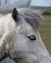 white horse face side. Simple Face Close Up Of White Horse Face From Side Stock Photo  4539215 In White Horse Face Side O