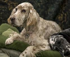 English Setter Weight Chart English Setter Dog Breed Information And Pictures