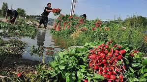 Image result for آبیاری سبزیجات با اب فاضلاب