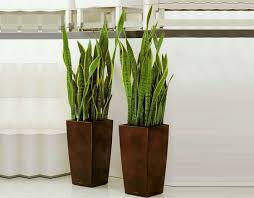 tall office plants. What Is A Good Indoor Plant Tall Office Plants O