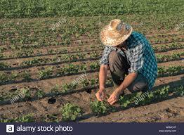 Farmer Working On Soybean Plantation Examining Crops
