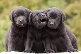 newborn chocolate lab puppies. Unique Newborn Black Labrador Puppies And Newborn Chocolate Lab Puppies D