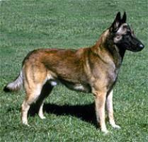belgian malinois dog breed
