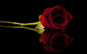 red rose background wallpaper 07221 baltana