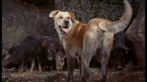 old yeller vs wild boars jpg × old yeller  old yeller vs wild boars jpg 853×480 old yeller disney s