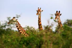 Image result for three headed giraffe