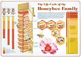 Queen Bee Colour Chart Life Cycle Chart
