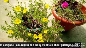 Office Flower How To Grow And Get More Flowers On Purslane Portulaca Office Time 9o Clock Plant