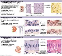 Tissue Chart Answer Key Epithelial Tissue Types Google Search Human Anatomy