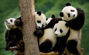 panda pandas baer bears baby cute 3 wallpaper