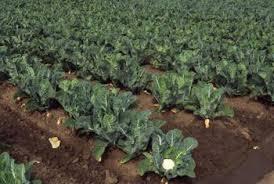 cauliflower plant. Unique Cauliflower Cauliflower Plants Are Sensitive To Even Slight Changes In Temperature Throughout Plant