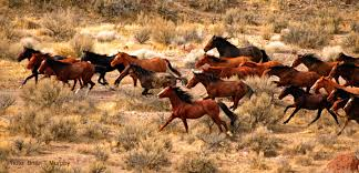 wild horses mustang running. Plain Mustang Wild Mustangs Running Free By Brian Murphy Throughout Horses Mustang Running A