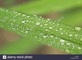 grass blade close up. Rain Droplets On Grass Blade, Close Up Photo Blade