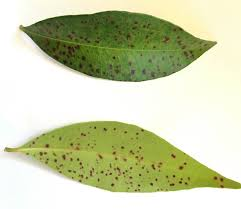 Dark spots on lilly pilly leaves - Yates