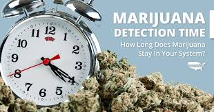 How Long Does Marijuana Stay In System Chart Marijuana Detection Time How Long Is Marijuana In Your System