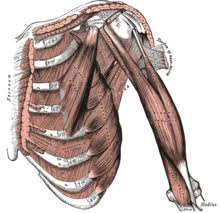 The chest is a complicated muscle, and one of the larger areas of the body. Pectoral Muscles Wikipedia