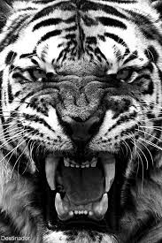 tiger roar tumblr. Exellent Tumblr Tumblr Throughout Tiger Roar Pinterest