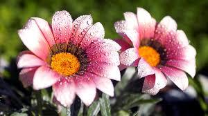 beautiful amazing flower water drops hd wallpaper background hd wallpapers