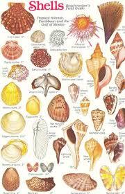 Seashell Chart Image Result For Seashell Chart Seashells Coisas De