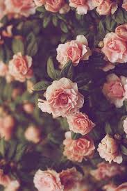 Pink Rose iPhone Wallpapers - Top Free ...